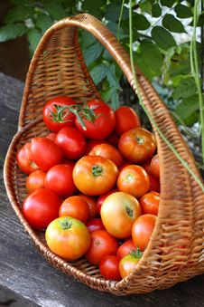 Free Fresh Red Tomatoes Royalty Free Stock Photos - 20408918