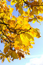 Free Autumn Oak Leaves Royalty Free Stock Photo - 20413045