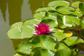 Free Pink Water Lily Royalty Free Stock Image - 20413626