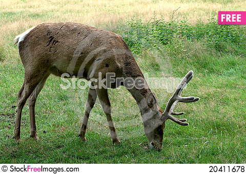 Free Young Deer Royalty Free Stock Photos - 20411678