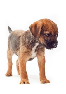Free Border Terrier Puppy Stands Calmly Stock Photos - 20410193