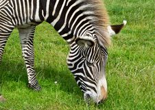 Free Zebra Stock Photography - 20410662