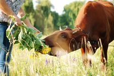 Free Girl Feeding A Cow Royalty Free Stock Images - 20412519