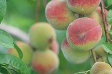 Free Peaches Royalty Free Stock Photo - 20412645