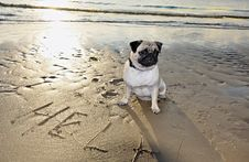 Free Dog Pug Royalty Free Stock Image - 20412716