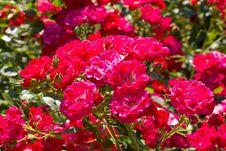Bush Of Pink Roses Stock Images