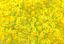 Texture Of Yellow Flowers. Royalty Free Stock Photo