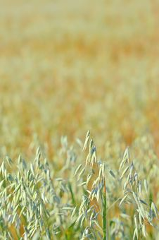 Free Barley In The Field. Royalty Free Stock Images - 20413409