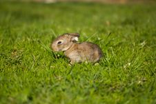 Gray Bunny In Green Grass Royalty Free Stock Image