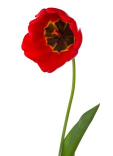 Free Red Tulip Royalty Free Stock Photography - 20413537