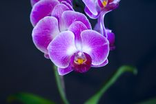 Free Pink Orchid Stock Image - 20413611