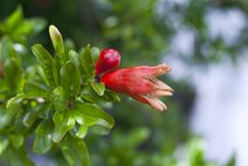 Free Young Pomegranate Fruit Stock Photo - 20413630