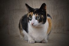 Free Tortoiseshell Cat. Royalty Free Stock Image - 20413736