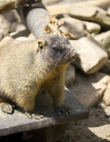 Steppe Marmot Royalty Free Stock Photography
