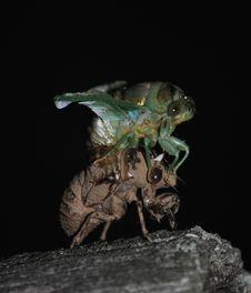 Cicada On Shell Royalty Free Stock Photos