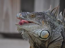 Free Iguana Tongue Stock Photo - 20414840