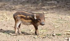 Free Baby Wildboar Royalty Free Stock Photos - 20415928