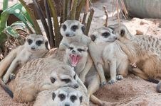 Free Meerkats. Royalty Free Stock Images - 20416089