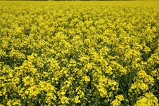 Free Oilseed Stock Photography - 20416422