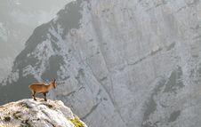 Mountain Goat - Alpine Ibex Stock Photo