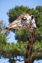 Free Giraffe Looking Sideways Royalty Free Stock Photography - 20422957