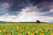 Free Sunflower Field Stock Images - 20420204
