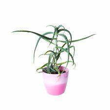 Free Aloe Vera Plant In A Pot Royalty Free Stock Photo - 20420395