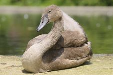 Free Young Mute Swan, Cygnus Olor Royalty Free Stock Photos - 20422508