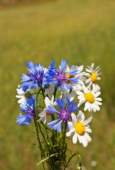 Free Field Bouquet Of Cornflowers And Daisies Royalty Free Stock Image - 20422726