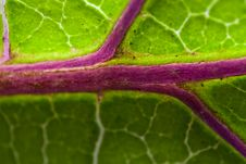 Free Purple Veins Of A Leaf Royalty Free Stock Image - 20422816