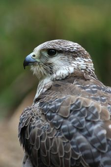 Gyr Falcon Stock Image