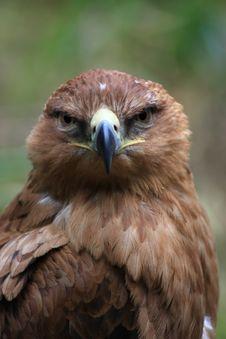 Free Tawny Eagle Stock Photography - 20424062