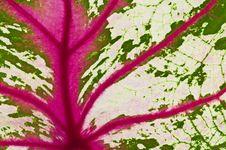 Free Detail Of Caladium Leaf Royalty Free Stock Image - 20424596