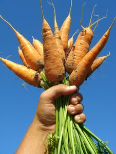 Hand With Carrots Royalty Free Stock Images