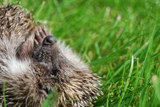 Free Muzzle Of A Hedgehog Royalty Free Stock Photo - 20425175