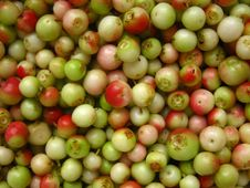 Free Green, Unripe Fruits Harvested Lingonberry Stock Photo - 20425240