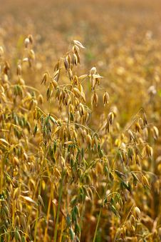 Free Golden Oat Field Royalty Free Stock Photos - 20425848