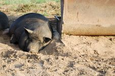 Free The Pig Stock Photos - 20426063