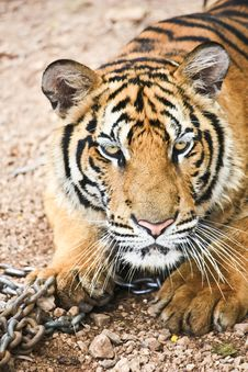 Free Tiger Royalty Free Stock Images - 20426999