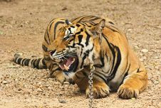 Free Tiger Stock Photo - 20427430