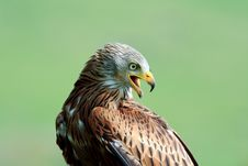 Free A Portrait Of A Red Kite Royalty Free Stock Photography - 20428877
