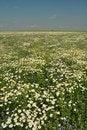 Free Chamomile, White Flower, Fresh Green Royalty Free Stock Image - 20430656
