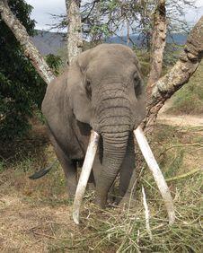 Free Elephant Royalty Free Stock Photos - 20432258