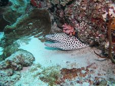 Free Honeycomb Moray Stock Photo - 20432280