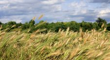 Free Summer Landscape With Grains Stock Image - 20432651