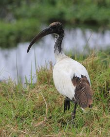 Free Ibis Stock Photography - 20433622