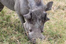 Free Wart Hog Stock Photos - 20433703