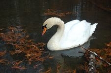 Free Autumn Swan Stock Images - 20433714
