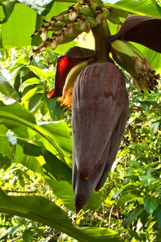 Free Banana Flower. Royalty Free Stock Image - 20434186