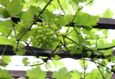 Free Green Grapes Stock Photos - 20434303